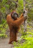 Orangoetantribunes op zijn achterste benen in de wildernis indonesië Het Eiland Kalimantan Borneo stock foto's
