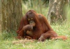 Orangotango 2 Imagens de Stock Royalty Free