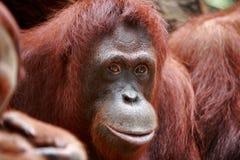 Orangotango Foto de Stock