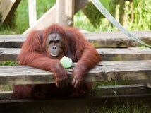 Orangotango Imagem de Stock