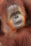Orangotango Imagens de Stock Royalty Free