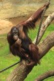 Orangotango Fotografia de Stock Royalty Free