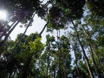 Orangotango alto nas árvores em Tanjung que põe o parque nacional em B imagem de stock royalty free