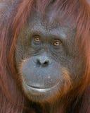 Orangotango - beleza de sorriso Imagens de Stock