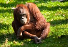 Orangotango bonito Fotografia de Stock