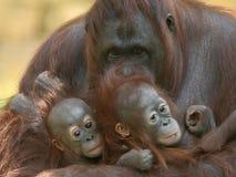 Orangotango com infantes Fotografia de Stock Royalty Free