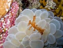 Orangotango Crab1 Imagem de Stock