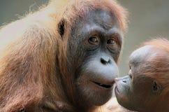 Orangotango da matriz com seu bebê Imagens de Stock