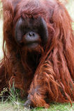 Orangotango de ameaça Foto de Stock