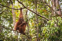 Orangotango de Bornéu imagem de stock royalty free