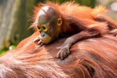 Orangotango de Bornéu Fotografia de Stock
