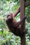 Orangotango de Bornéu fotografia de stock royalty free