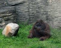 Orangotango de Bornéu no jardim zoológico de Moscou Fotos de Stock