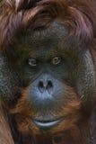 Orangotango de Bornean Imagens de Stock