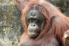 Orangotango de Bornean (pygmaeus do Pongo) Fotografia de Stock