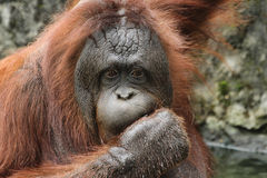 Orangotango de Bornean (pygmaeus do Pongo) Fotos de Stock
