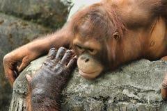 Orangotango de Bornean (pygmaeus do Pongo) Imagens de Stock