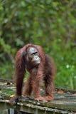 Orangotango de Bornean & x28; Pygmaeus& x29 do Pongo; sob a chuva na natureza selvagem Orangotango central de Bornean & x28; Pygm foto de stock royalty free