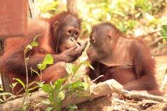 Orangotango de dois jovens Foto de Stock