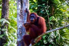 Orangotango de sorriso foto de stock royalty free