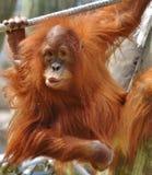 Orangotango do bebê Fotografia de Stock Royalty Free