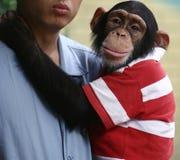 Orangotango do bebê Foto de Stock