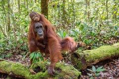 Orangotango e mãe do bebê no habitat natural Foto de Stock