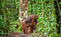 Orangotango e mãe do bebê no habitat natural Imagem de Stock