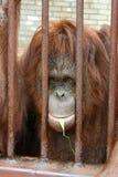Orangotango em uma gaiola Imagem de Stock