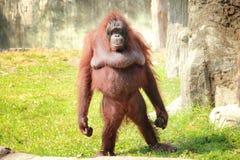 Orangotango ereto fotografia de stock royalty free