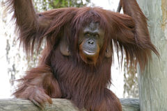 Orangotango fêmea foto de stock