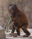 Orangotango infantil: Junior Experimenting com seus grupos de alimento foto de stock royalty free