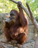 Orangotango inquisidor Fotografia de Stock Royalty Free