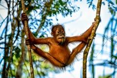 Orangotango muito flexível do bebê entre as árvores Sumatra, Indonésia imagem de stock royalty free