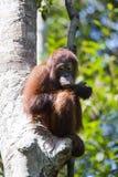 Orangotango na floresta de Kalimantan Imagens de Stock Royalty Free