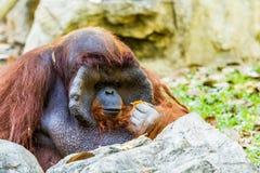 Orangotango no chiangmai Tailândia do jardim zoológico do chiangmai Fotografia de Stock