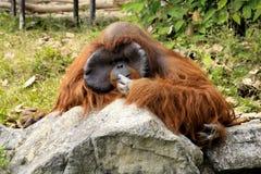 Orangotango no jardim zoológico de Chiang Mai, província de Chiangmai, Tailândia Fotos de Stock