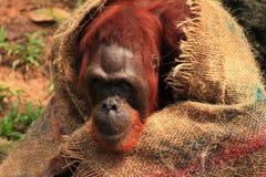 Orangotango no jardim zoológico de Singapura Imagens de Stock Royalty Free