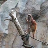 Orangotango novo em um tronco de árvore imagem de stock royalty free