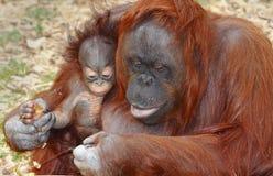 Orangotango Orang Utan   Foto de Stock Royalty Free