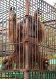 Orangotango que escala nas barras Fotos de Stock