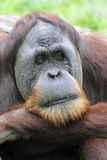 Orangotango que olha pensativo Fotografia de Stock Royalty Free