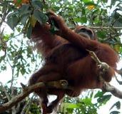Orangotango selvagem, Bornéu central Imagem de Stock Royalty Free