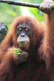 Orangotango Utan fotografia de stock