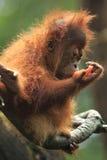Orangotango Utan (bebê) foto de stock