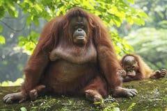 Orangotango Utan do bebê e mãe Imagens de Stock