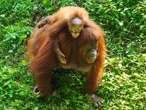 Orangotango Utan do bebê e mãe Foto de Stock Royalty Free