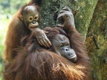 Orangotango Utan do bebê e mãe Imagem de Stock Royalty Free
