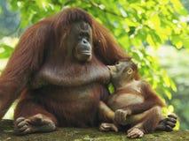 Orangotango Utan do bebê e mãe Fotografia de Stock