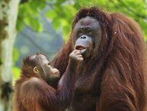 Orangotango Utan do bebê e mãe Fotografia de Stock Royalty Free